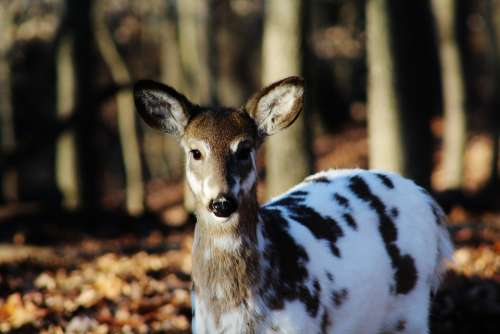 Spotted Deer Wildlife Mammal Nature Brown Animals