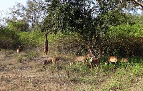 Spotted Deer Chital Axis Axis Deer Wildlife Mammal