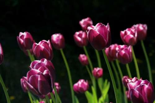 Spring Flower Tulips Nature Flowers Purple