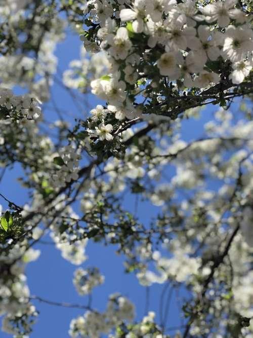 Spring Sky Flowers Cherry Nature Harmony Beauty
