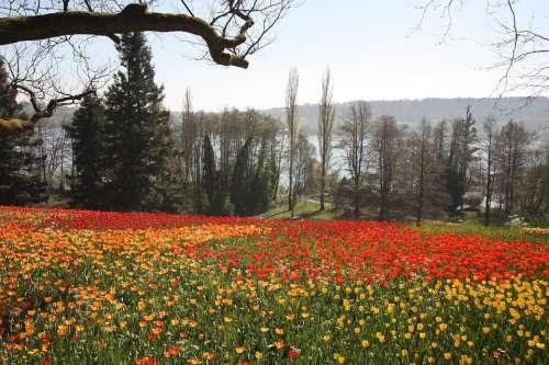 Spring Flowers Tulips Flower Petals Botany