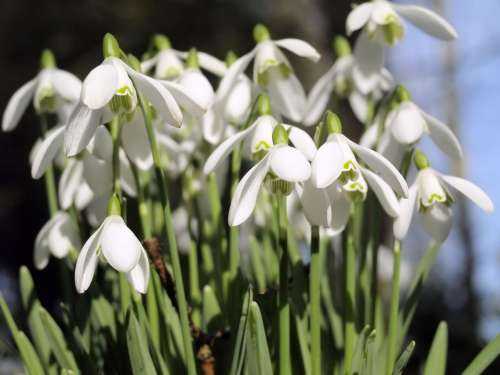 Spring White Flowers Snowdrops Nature Petals