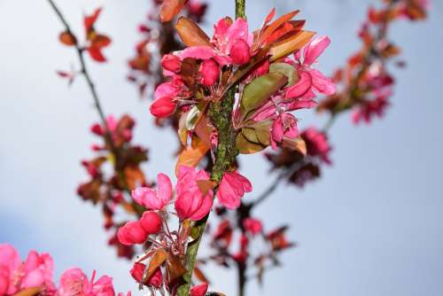 Spring The Buds Flowers Fruit Trees Garden Pink