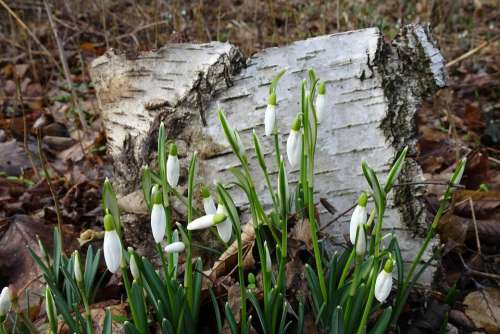 Spring Early Bloomer Flowers Snowdrop Leaves