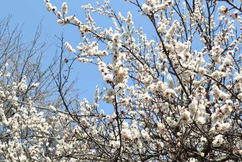 Spring Flowers Tree Cherry Tree Nature Japanese