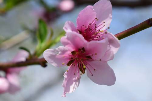 Spring Flowers Pink Nature Beauty Blooming Flora