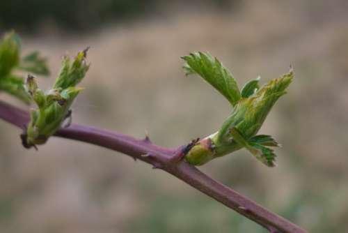 Spring Bud Leaf Bloom Nature