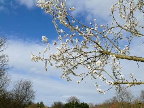 Spring Tree Blossoms White Flowers Nature Tree