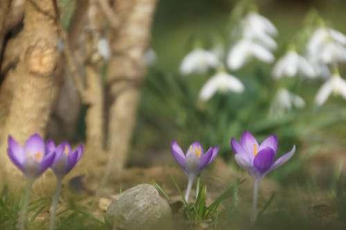 Spring Flower Purple Nature Crocus Snowdrop