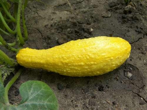 Squash Food Vegetable Crookneck Yellow Garden