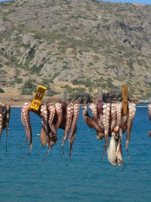 Squid Octopus Crete Vacations Dry Animals