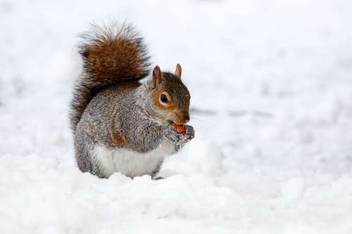 Squirrel Rodent Animal Brown Cold Creature Eat