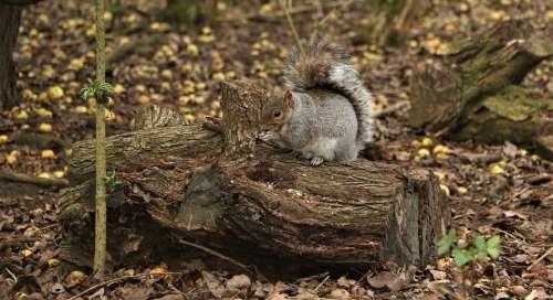 Squirrel Trees Nature Autumn Forest