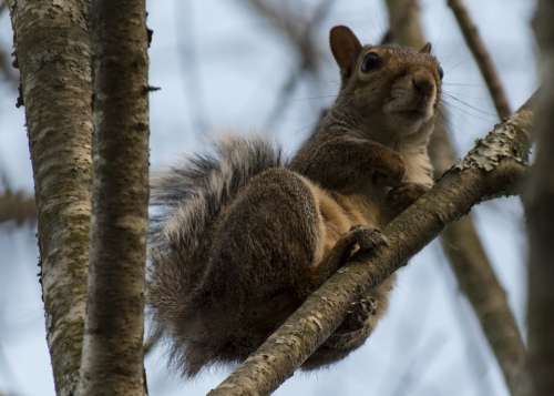 Squirrel Tree Animal Rodent Cute Wildlife Brown