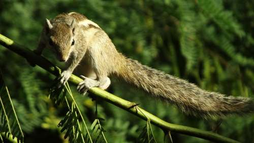 Squirrel Animal Nature Cute Rodent
