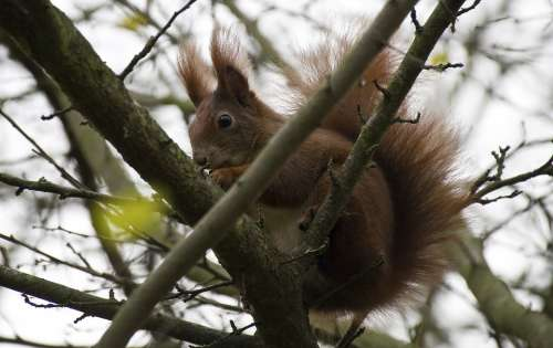 Squirrel Garden Season Bushes Shrubs Red Brown