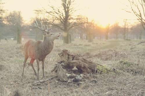Stag Deer Nature Animal Hart Wildlife Forest
