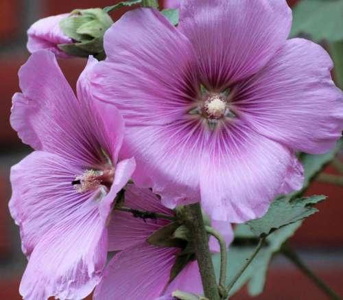 Stock Rose Common Peony Alcea Rosea Althaea Rosea