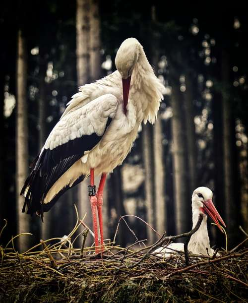 Stork Nest Building Pair Birds Nest Build A Nest
