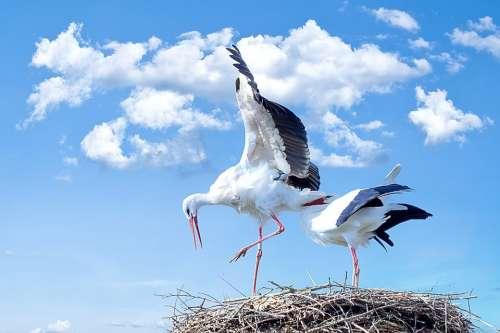 Stork Bird Animal Flying White Stork Rattle Stork