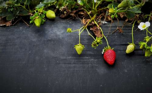 Strawberries Fruit Growth Organic Garden Berry