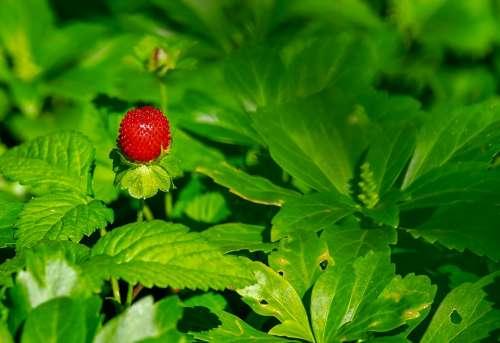 Strawberry Wild Strawberry Nature Berry Fruit