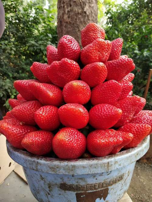 Strawberry Fruit Mahabaleshwar India