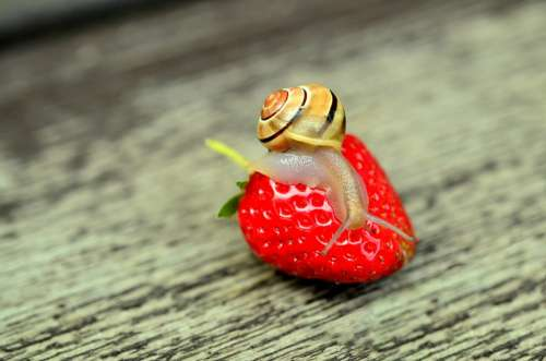 Strawberry Snail Tape Worm Animal Reptile Shell