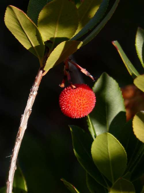 Strawberry Tree Fruits Of The Forest Winter
