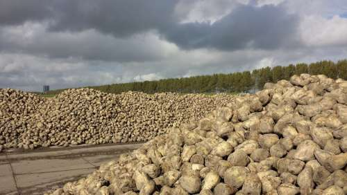 Sugar Beet Yield Polder Landscape Clouds