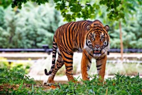 Sumatran Tiger Tiger Big Cat Stripes Walking