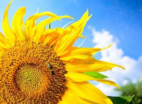 Summer Sunflower Yellow Flower Pollination Sunny