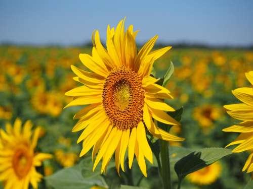 Sunflower Inflorescence Flower Basket Flower