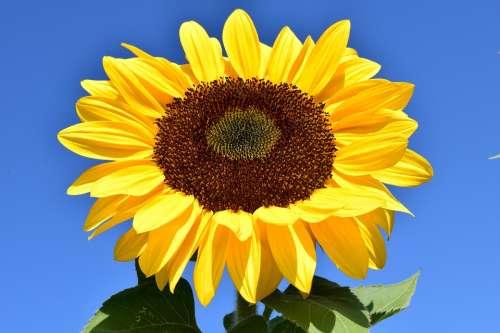 Sunflower Yellow Summer Blossom Bloom Flower