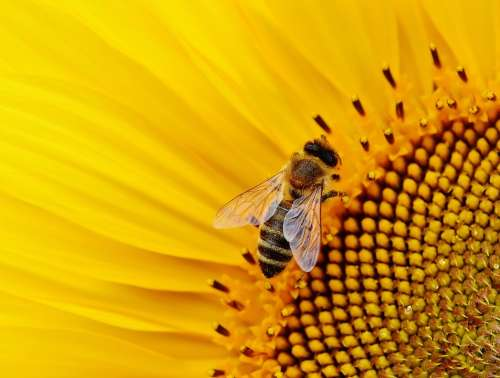 Sunflower Bees Summer Garden Blossom Bloom Yellow
