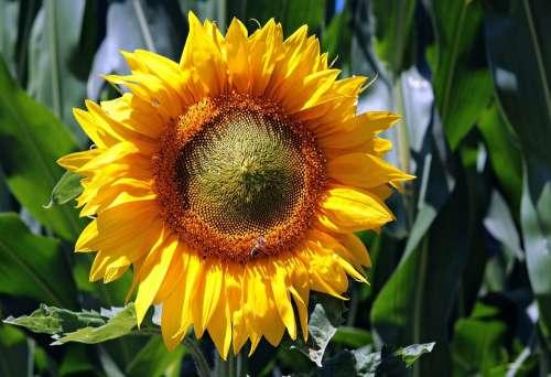Sunflower Flower Blossom Bloom Nature Summer