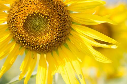 Sun Flower Sunny Sun Flower Sunshine Summer Color