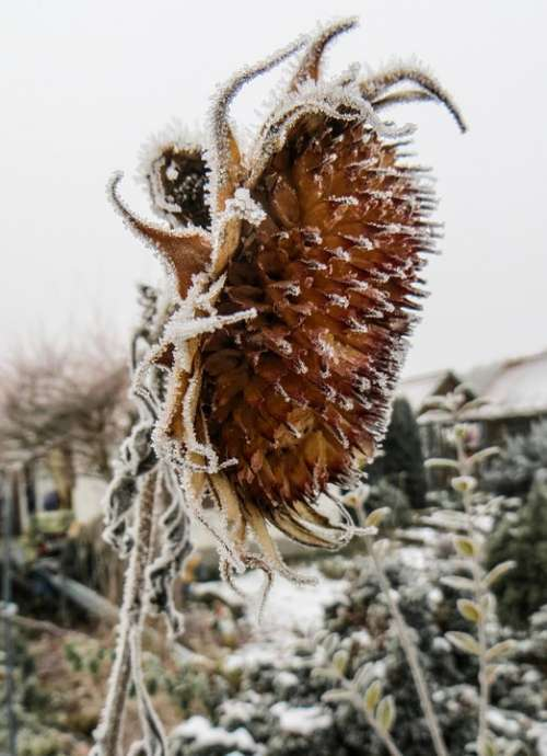 Sunflower Frozen Winter Frost Winter Magic Cold