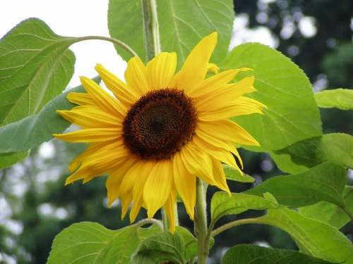 Sunflower Flower Nature