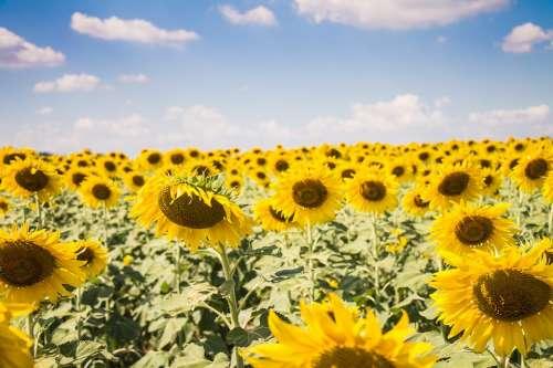 Sun Flowers Sunny Sun Flowers Sunshine Summer
