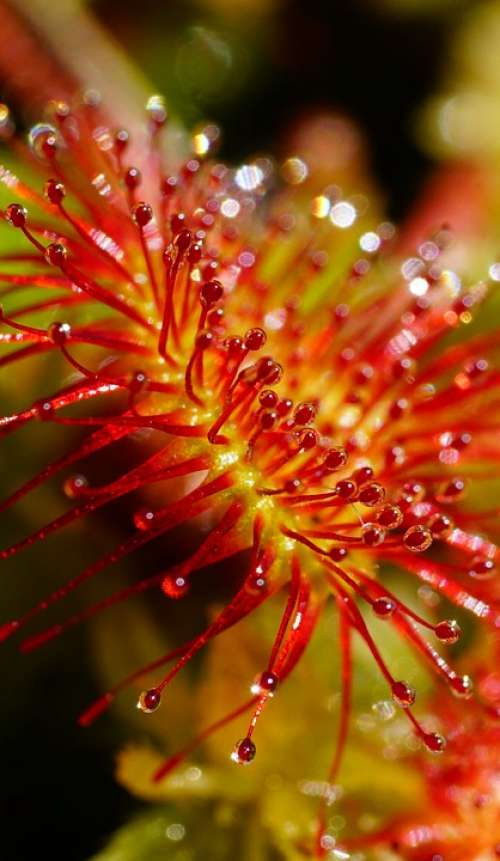 Sundew Glands Villi Tentacles Fishing Blades