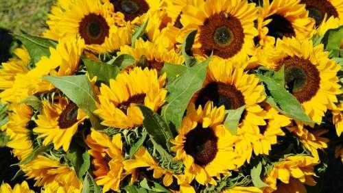 Sunflower Sunflower Field Bouquet Flora Field