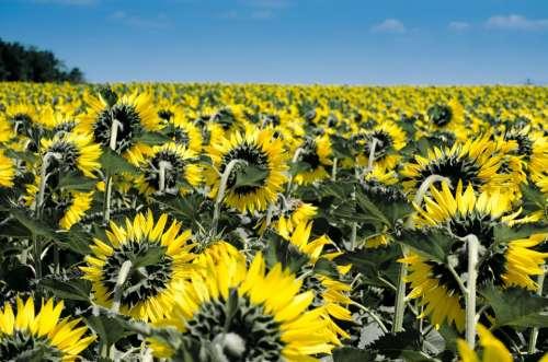 Sunflower Flowers Field Many Yellow Summer Flora
