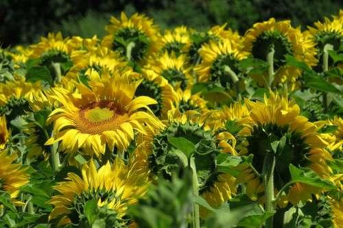 Sunflower Sunflower Field Flowers Bright Sunny
