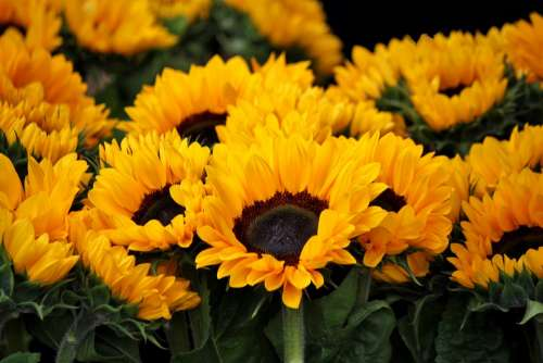 Sunflower Blossom Bloom Flowers Flora Bright