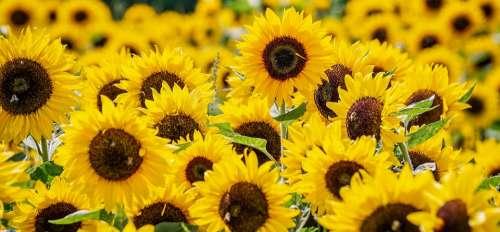 Sunflower Flowers Yellow Summer Blossom Bloom