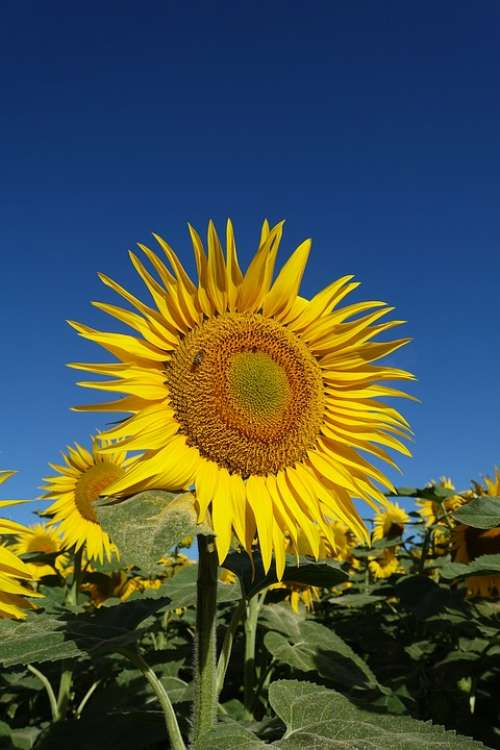 Sunflower Yellow Flower Bloom Plant Agriculture