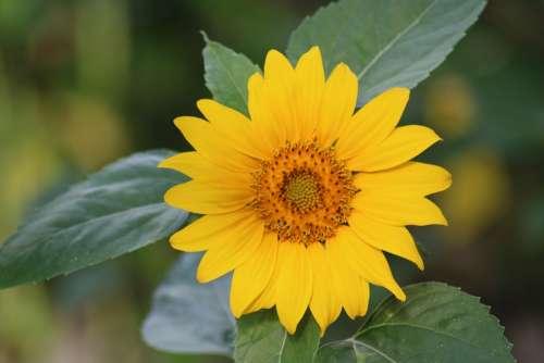 Sunflower Flower Summer Yellow Nature Plant
