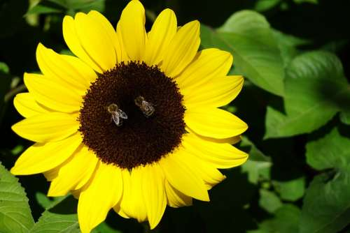 Sunflower Flower Garden Bees Nature Blossom Bloom