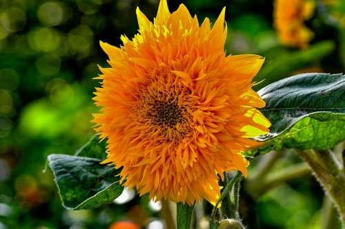 Sunflower Garden Flowers Yellow Nature Plant